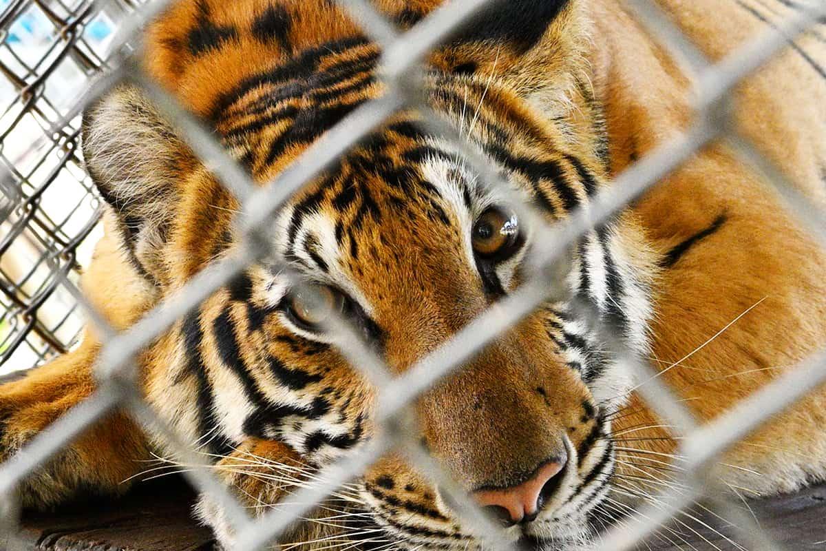 Tiger im Käfig - Bucket