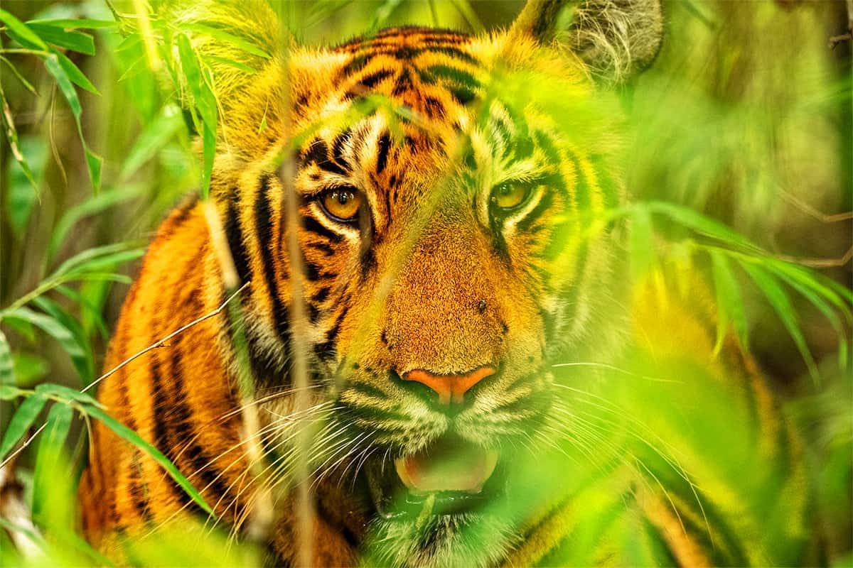 Ein Tiger der im Busch lauert