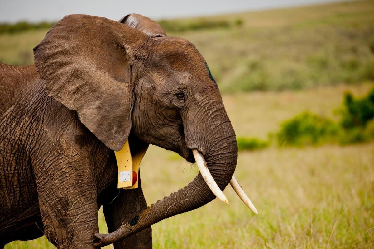 Dieser Elefant trägt einen Satellitensender, © by G.Armfield/WWF-UK