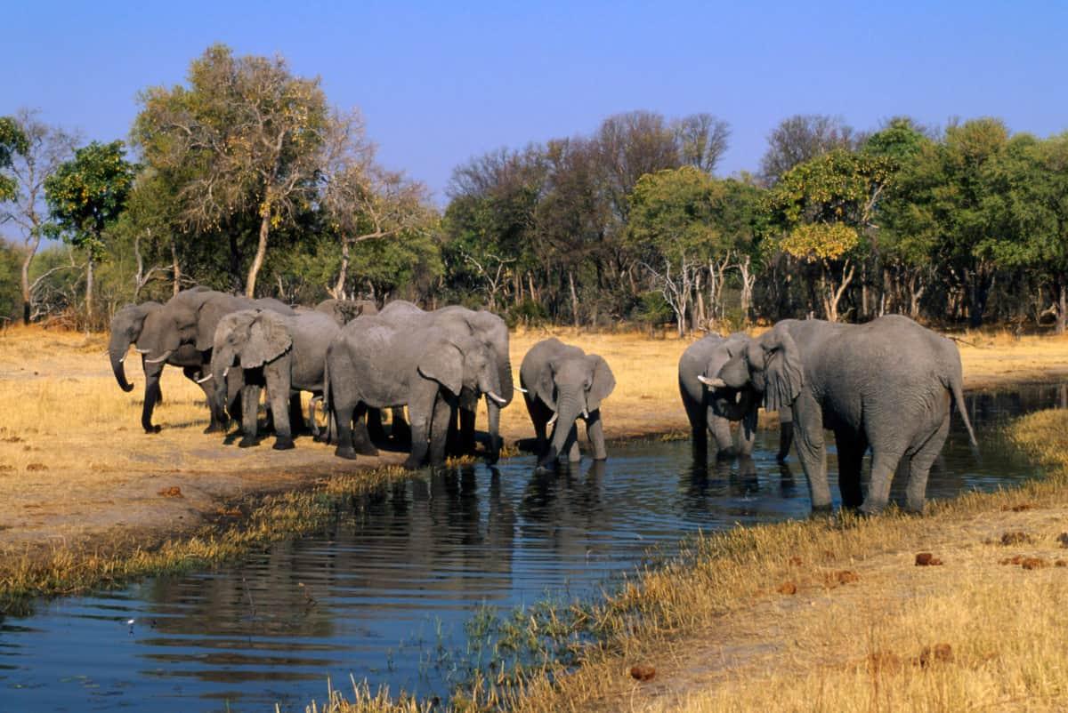 Elefantenherde in Botswana/Afrika, © by Martin Harvey