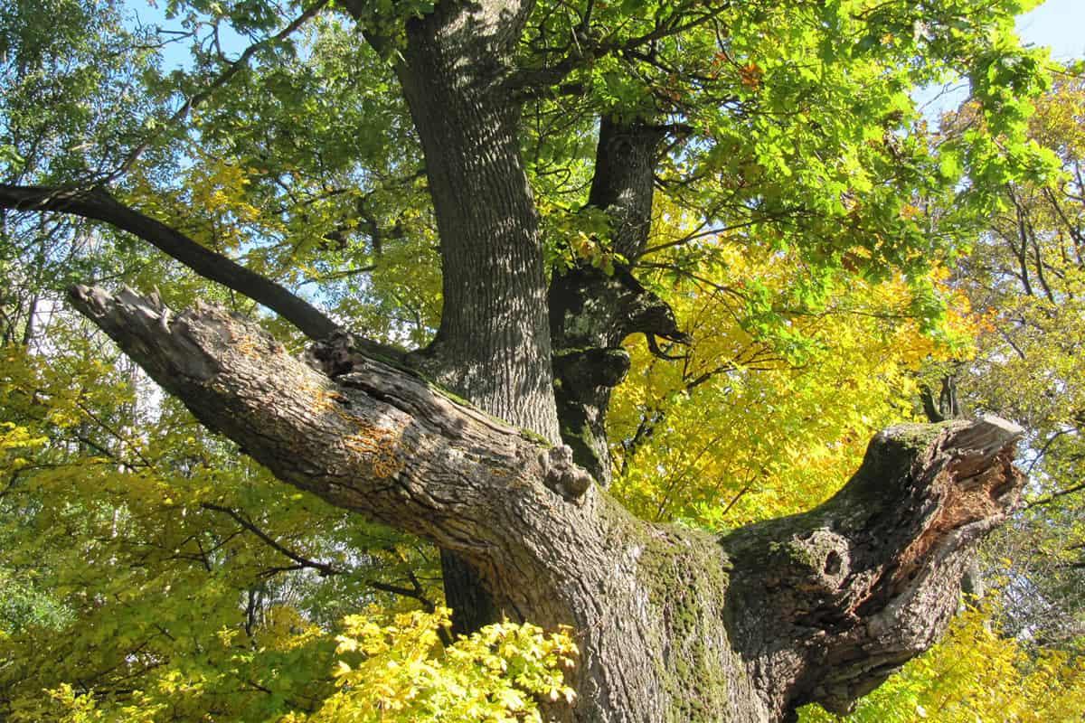 Alte Eiche mit dickem Stamm, Habitatbaum