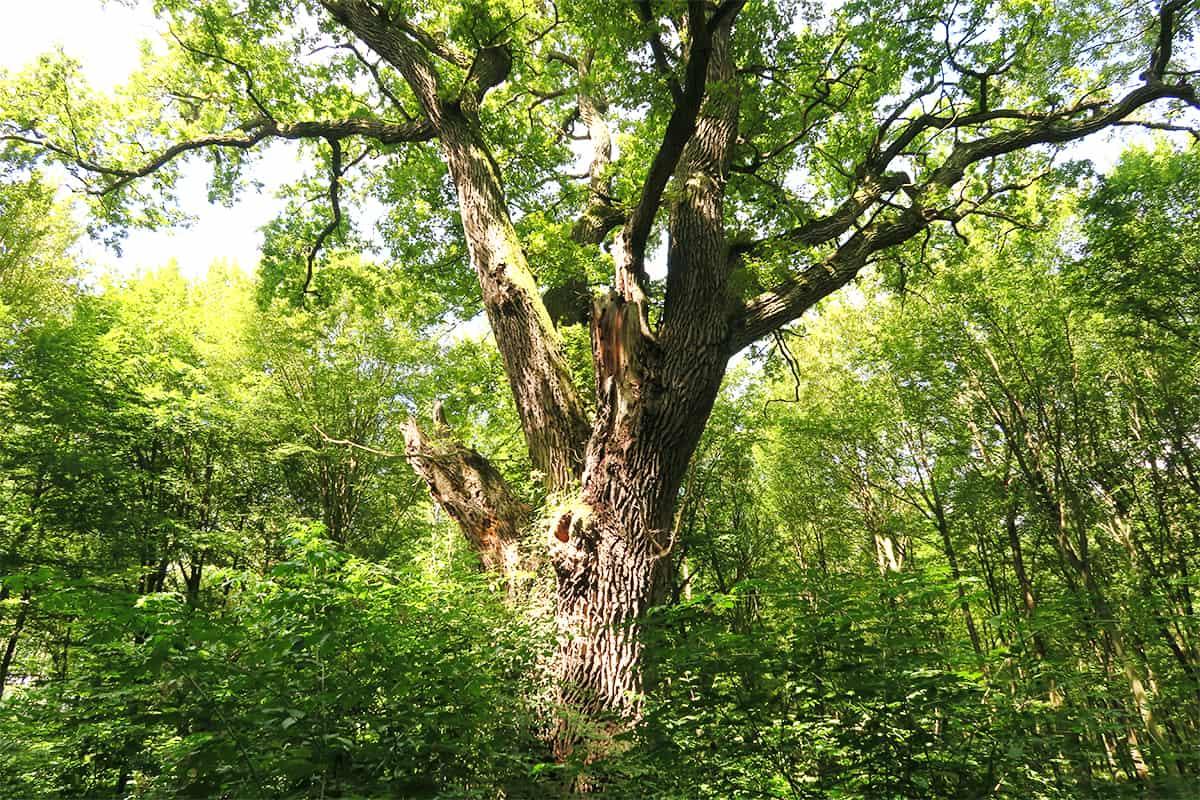 Alter Biotopbaum