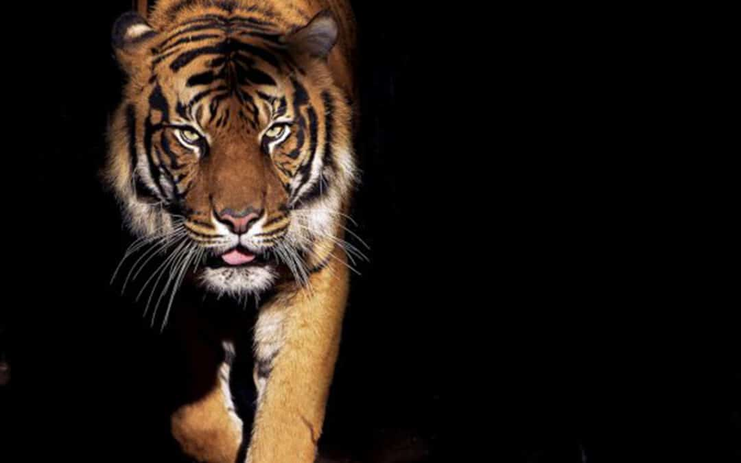 WWF: Licht und Schatten für letzte Tiger Asiens