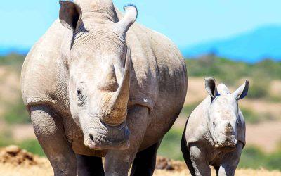 WWF zum Welt-Nashorntag: Die Wilderei in Südafrika ist zurück