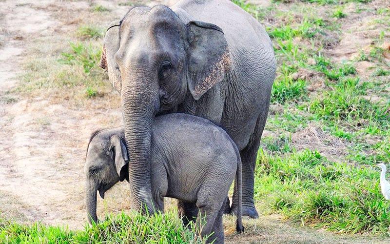 Asiatischer Elefant Mutter mit Jungem