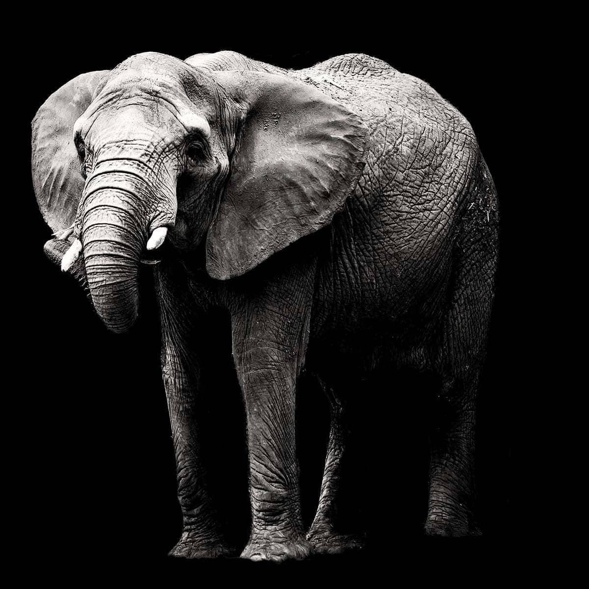 Elefant auf schwarz weiß